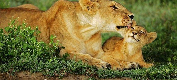 aslan anneleri1