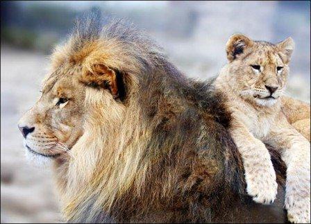 aslan babalari1
