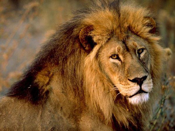 aslan burcu3